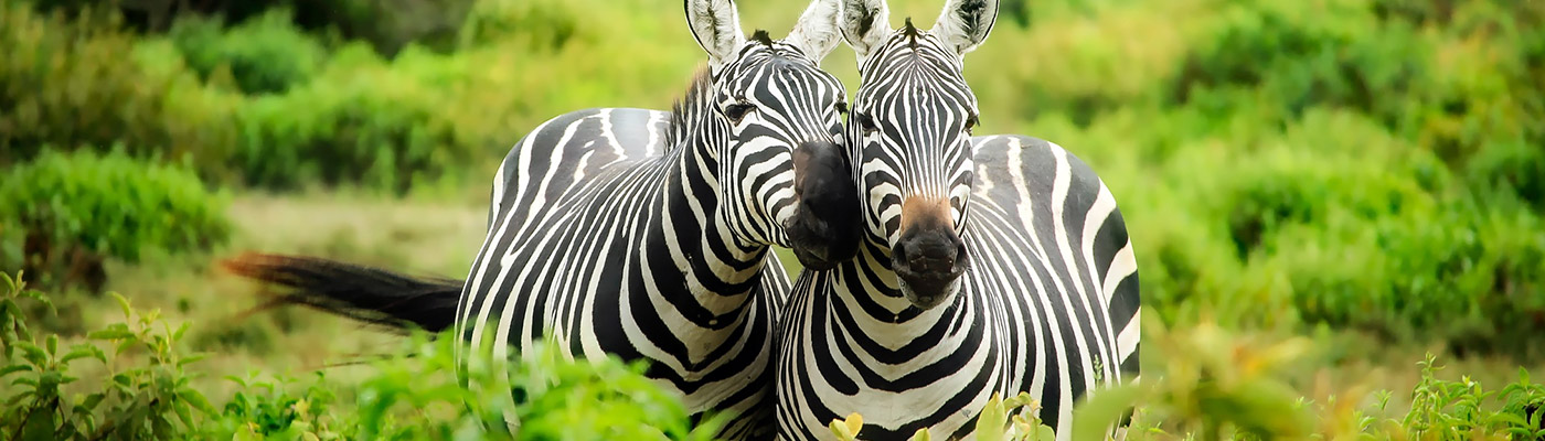 Two zebras nuzzling - a slider image for JD Specialized Recruitment South Africa's Contact page.